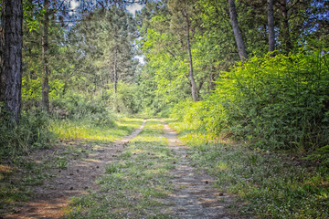 Walking road in  the pinewood forest near Marina Romea