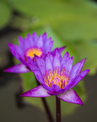 Beautiful purple lotus closeup