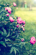 peonies blooming in the garden