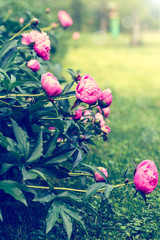 peonies blooming in the garden