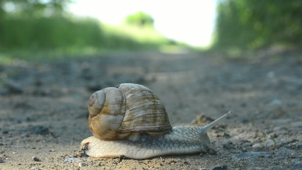 timelapse - snail crawls on the road (in nature)