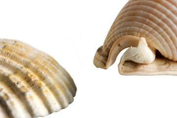 Bivalvos de mar