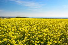 "Постер, картина, фотообои ""Rape seed field at Cap Gris Nez, France"""