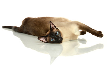 Siamese Cat Laying on Table
