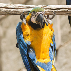Blue and Yellow Macaw playung in the branch