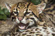 Ocelot portrait with opened mouth