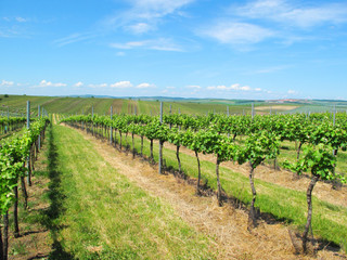 Vineyard near Velke Bilovice in South Moravia, Czech republic.