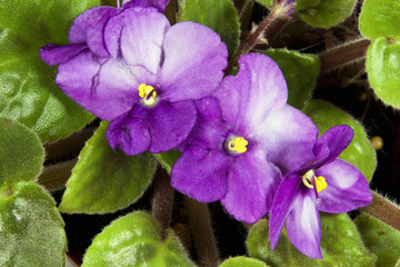 Closeup of Mauve and White African Violet Flowers