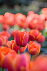 red tulip stems outdoor
