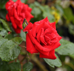 red rose flower plant