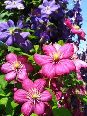 beautiful red flowers of clematis