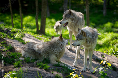 Foto op Canvas Wolf Wolf Pack of Three Wolves