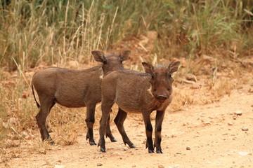 gnu animale mammiffero erbivoro parco del kruger sudafrica