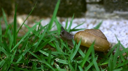 Crawler snail on the grass. Macro video