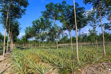 Rubber Tree And Pineapple Plantation