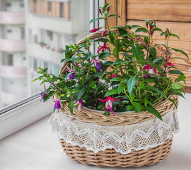 Fuktsia in beautiful vintage basket on the balcony