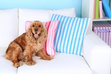 English cocker spaniel on sofa in room