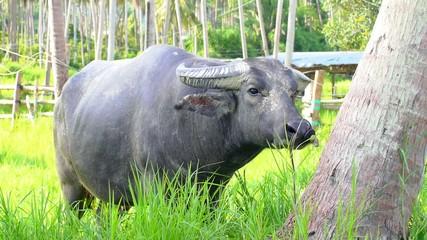 Big Buffalo Feeding in Sunny Palm Forest.