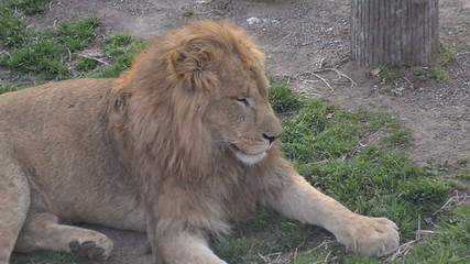 Lion in Tama Zoo,Tokyo,Japan
