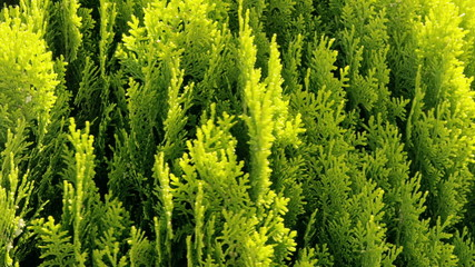 Thuja - ornamental tree