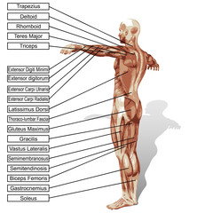 3D human man anatomy with muscles text