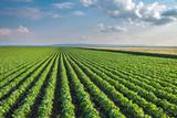 Fototapeta Soybean Field