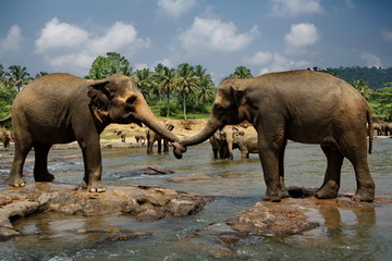 Two big wild elephants