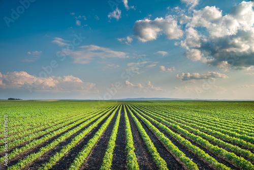 Leinwanddruck Bild Soybean Field