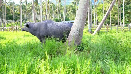Buffalo Feeding in the Palm Forest.