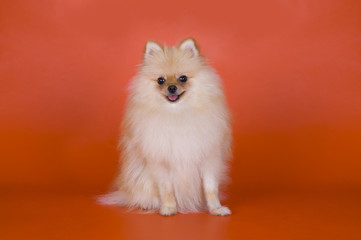 small Pomeranian dog