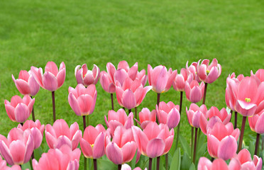 Field with pink tulips on green grass