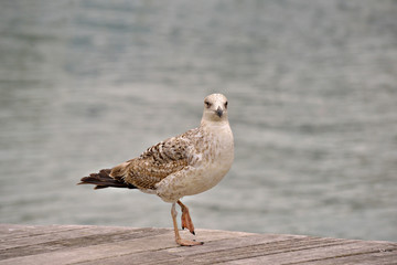 Seagull posing on wooden pavement near water