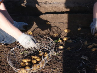 Kartoffelernte mit der Hand