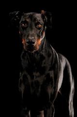 Dobermann Pinscher Portrait auf Schwarz