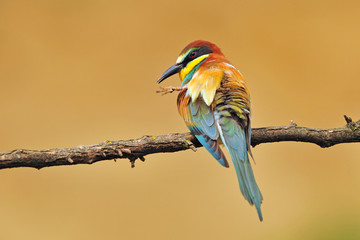 Bee eater scratching it's head