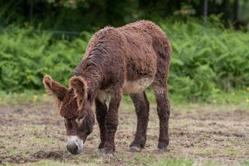 Ane du Poitou  - Equus asinus - en train de brouter