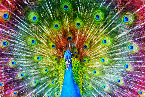 Peacock with Feathers Spread. - 65805888