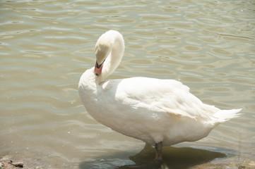 White swan in lake.