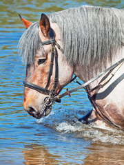 Portrait of Belgian draught horse in lake.