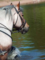 Portrait of Belgian draught horse in lake.