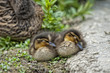 Two puppy Duck while sleeping