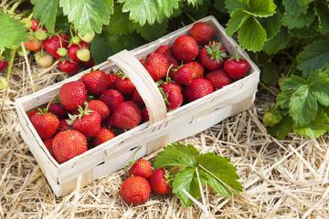Erdbeeren selbst gepflückt