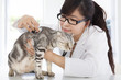 Female  Veterinarian examining a cute cat at clinic