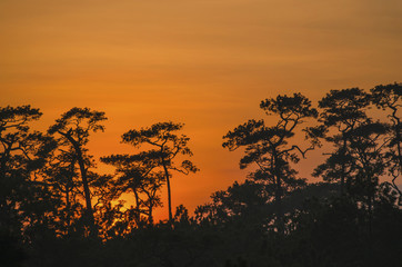 Pine silhouette and Sunset