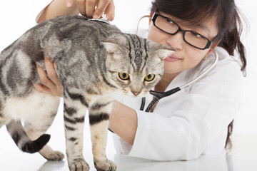 Female  Veterinarian doing checkup a cute cat at clinic