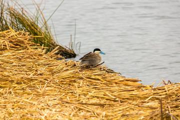 Aquatic seabirds in lake Titicaca National Reservation , Peru