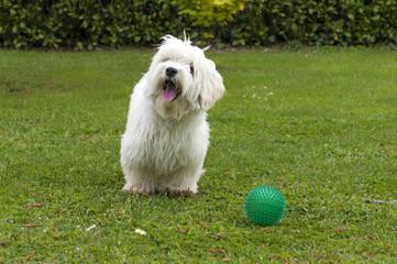 cane gioca con palla, razza maltese