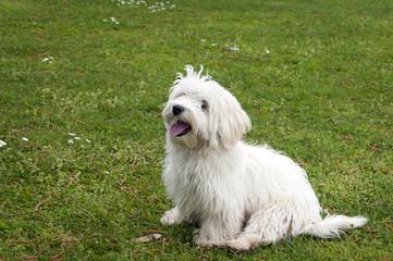 cane seduto razza maltese