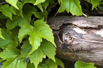 foglie di edera rampicante