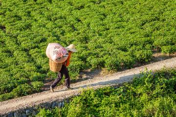 chinesischer Arbeiter auf einer Teeplantage in China